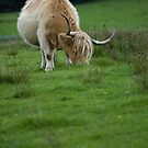 Highland cattle by narabia
