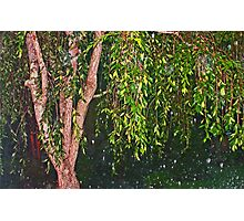 Weeping Willow In The Rain Photographic Print