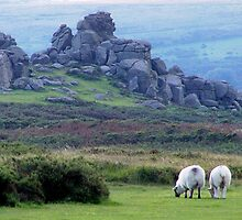 Dartmoor sheep by DIANE  FIFIELD