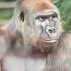 Silverback Gorilla  by Frank Moroni
