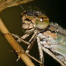Portrait Of A Dragonfly by Holly Cawfield