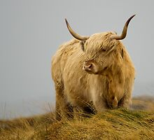 Hairy Coo 1 by incachin