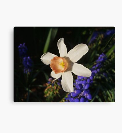 Narcissus 'Foundling' Canvas Print
