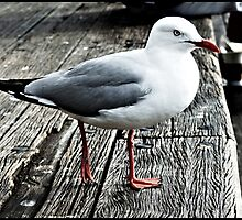 Seagull by geeang