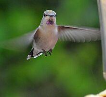 FEMALE HUMMINGBIRD ANNA'S IN-FLIGHT by JAYMILO
