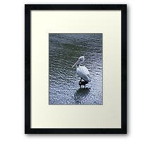 A marvellous bird is the pelican.... Framed Print