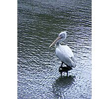 A marvellous bird is the pelican.... Photographic Print