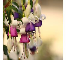 Purple and pink fuschias Photographic Print