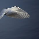 White Dove  by larry flewers