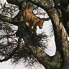 Lioness descends tree on Serengeti, Tanzania, Africa by Bev Pascoe