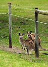 Kangaroos at Pambula Beach by Darren Stones