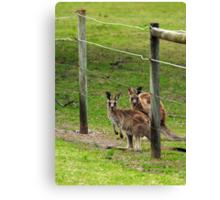 Kangaroos at Pambula Beach Canvas Print