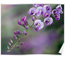 Purple Coral Pea Poster