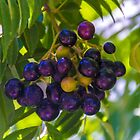Curry tree by indiafrank