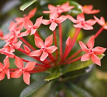 Seychelles flowers by Chris  Ridley