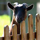 The Goat Next Door by Geoff Carpenter