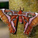 Caesar's Atlas Moth III by Pamela Hubbard