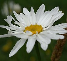 Delicate White Daisy by SmilinEyes