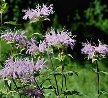 Sweet Purple Bee Balm by SmilinEyes