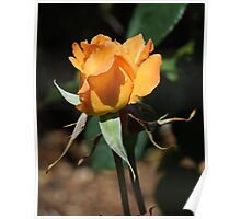 Single orange rosebud Poster