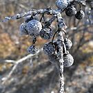 Frosted Berries by Tracy Faught