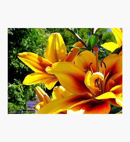 Yellow and red Lylium Photographic Print