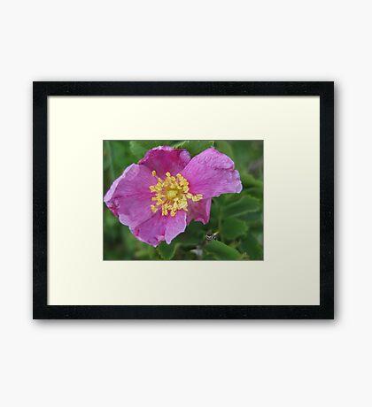 Wild Roses Framed Print