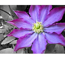 Clematis Flower Photographic Print