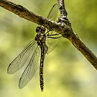 Dragon Fly (2) by Josette Halls
