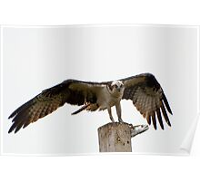 An Osprey on a pole with a live fish Poster