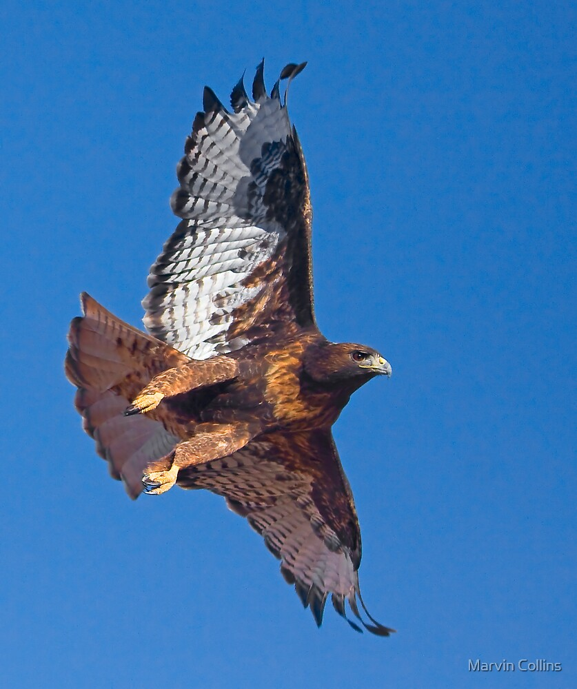 Dark Morph Red-Tailed Hawk by Marvin Collins
