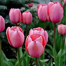 Pink Tulips by Rebecca Bryson