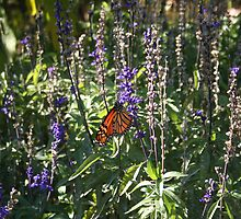 Butterfly by jeffrae