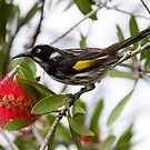 New Holland Honey Eater Braving the Rain by Sandra Chung