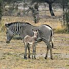 Grevy's Zebra & Foal, Central Kenya,  Africa by Bev Pascoe