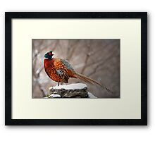 Ring-Necked Pheasant Framed Print