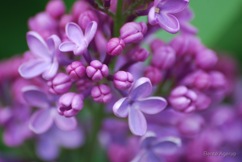 Lilac by julie08