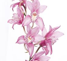Lavender Orchid by christinaree