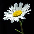 Daisy by Jeremy Owen
