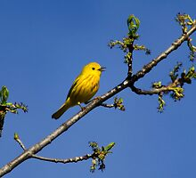Yellow Warbler by Christina Rollo