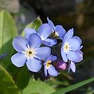 Spring Forget-Me-Nots by Rivendell7
