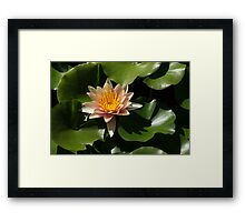 Exotic Colors - A Soft Coral Waterlily Framed Print