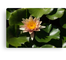 Exotic Colors - A Soft Coral Waterlily Canvas Print