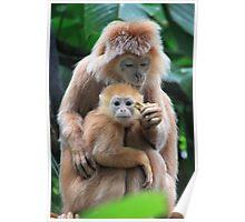 Javan langur Monkey Baby and Mother Poster