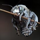 Blue Banded Bee by dasdarkseed
