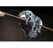 Blue Banded Bee Photographic Print