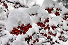 Red Berries with Snow by Elaine  Manley