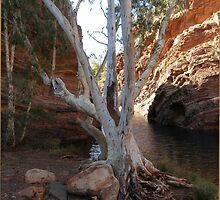 White Gum Tree by Leila Kennett