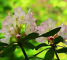 Pink Rhododendrons by Lisa Taylor