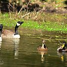 Geese and Ducks Sharing the Lake by imagetj